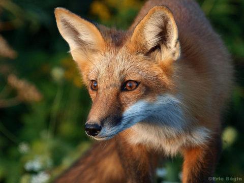 Conférence « Tout savoir sur le renard » le 18 avril